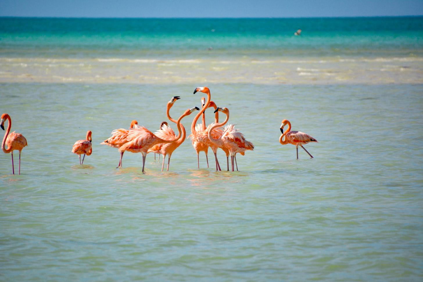 Flamingo's in het water bij Isla Holbox